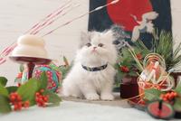 1匹の猫 エキゾチック(ロングコート) 21028023092  写真素材・ストックフォト・画像・イラスト素材 アマナイメージズ