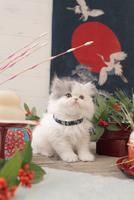 1匹の猫 エキゾチック(ロングコート) 21028023093  写真素材・ストックフォト・画像・イラスト素材 アマナイメージズ