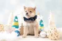 1匹の犬 柴犬 21028023129| 写真素材・ストックフォト・画像・イラスト素材|アマナイメージズ
