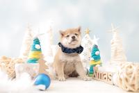 1匹の犬 柴犬 21028023130| 写真素材・ストックフォト・画像・イラスト素材|アマナイメージズ