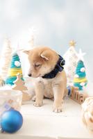 1匹の犬 柴犬 21028023134| 写真素材・ストックフォト・画像・イラスト素材|アマナイメージズ