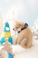 1匹の犬 柴犬 21028023137| 写真素材・ストックフォト・画像・イラスト素材|アマナイメージズ