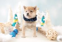 1匹の犬 柴犬 21028023138| 写真素材・ストックフォト・画像・イラスト素材|アマナイメージズ