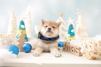 1匹の犬 柴犬 21028023140| 写真素材・ストックフォト・画像・イラスト素材|アマナイメージズ