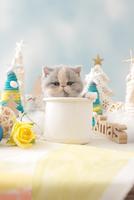 1匹の猫 エキゾチックショートヘア 21028023175  写真素材・ストックフォト・画像・イラスト素材 アマナイメージズ