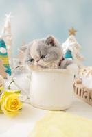 1匹の猫 エキゾチックショートヘア 21028023178  写真素材・ストックフォト・画像・イラスト素材 アマナイメージズ