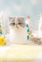 1匹の猫 エキゾチックショートヘア 21028023181  写真素材・ストックフォト・画像・イラスト素材 アマナイメージズ