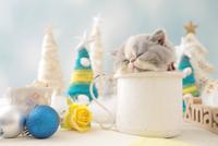 1匹の猫 エキゾチックショートヘア 21028023184  写真素材・ストックフォト・画像・イラスト素材 アマナイメージズ