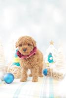 1匹の犬 トイプードル 21028023189  写真素材・ストックフォト・画像・イラスト素材 アマナイメージズ