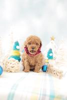 1匹の犬 トイプードル 21028023190  写真素材・ストックフォト・画像・イラスト素材 アマナイメージズ