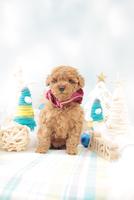1匹の犬 トイプードル 21028023191  写真素材・ストックフォト・画像・イラスト素材 アマナイメージズ