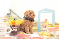 1匹の犬 トイプードル 21028023193  写真素材・ストックフォト・画像・イラスト素材 アマナイメージズ