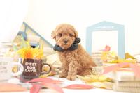 1匹の犬 トイプードル 21028023194  写真素材・ストックフォト・画像・イラスト素材 アマナイメージズ