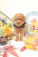 1匹の犬 トイプードル 21028023199  写真素材・ストックフォト・画像・イラスト素材 アマナイメージズ
