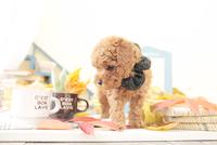 1匹の犬 トイプードル 21028023202  写真素材・ストックフォト・画像・イラスト素材 アマナイメージズ