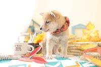 1匹の犬 柴犬 21028023203| 写真素材・ストックフォト・画像・イラスト素材|アマナイメージズ
