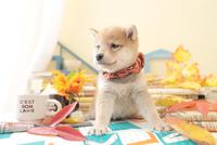 1匹の犬 柴犬 21028023206  写真素材・ストックフォト・画像・イラスト素材 アマナイメージズ