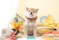1匹の犬 柴犬 21028023208  写真素材・ストックフォト・画像・イラスト素材 アマナイメージズ