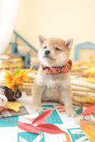 1匹の犬 柴犬 21028023209  写真素材・ストックフォト・画像・イラスト素材 アマナイメージズ