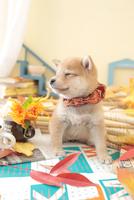 1匹の犬 柴犬 21028023210  写真素材・ストックフォト・画像・イラスト素材 アマナイメージズ