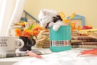 1匹の猫 ペルシャ(チンチラ シルバー) 21028023213  写真素材・ストックフォト・画像・イラスト素材 アマナイメージズ
