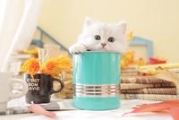 1匹の猫 ペルシャ(チンチラ シルバー) 21028023216  写真素材・ストックフォト・画像・イラスト素材 アマナイメージズ