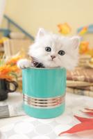 1匹の猫 ペルシャ(チンチラ シルバー) 21028023217  写真素材・ストックフォト・画像・イラスト素材 アマナイメージズ