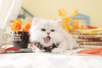 1匹の猫 ペルシャ(チンチラ シルバー) 21028023221  写真素材・ストックフォト・画像・イラスト素材 アマナイメージズ