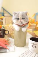 1匹の猫 エキゾチックショートヘア 21028023232  写真素材・ストックフォト・画像・イラスト素材 アマナイメージズ