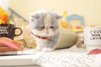 1匹の猫 エキゾチックショートヘア 21028023239  写真素材・ストックフォト・画像・イラスト素材 アマナイメージズ