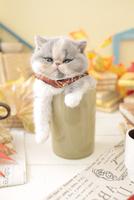1匹の猫 エキゾチックショートヘア 21028023242  写真素材・ストックフォト・画像・イラスト素材 アマナイメージズ