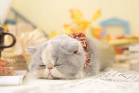 1匹の猫 エキゾチックショートヘア 21028023247  写真素材・ストックフォト・画像・イラスト素材 アマナイメージズ