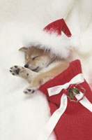 サンタ帽を被り靴下に入って眠る犬(柴犬)