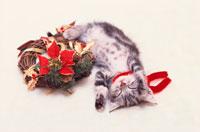 アメリカンショートヘアーの子猫とクリスマスリース 21030000116| 写真素材・ストックフォト・画像・イラスト素材|アマナイメージズ