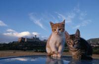 2匹のネコ 21030000315| 写真素材・ストックフォト・画像・イラスト素材|アマナイメージズ