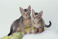 2匹のネコ(アビシニアン)