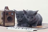 2匹のネコ(ロシアンブルー) 21030000390| 写真素材・ストックフォト・画像・イラスト素材|アマナイメージズ