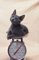 ネコ(ロシアンブルー) 21030000391| 写真素材・ストックフォト・画像・イラスト素材|アマナイメージズ