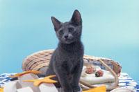 ネコ(ロシアンブルー) 21030000392A| 写真素材・ストックフォト・画像・イラスト素材|アマナイメージズ