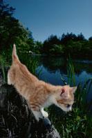 水辺のネコ 21030000465| 写真素材・ストックフォト・画像・イラスト素材|アマナイメージズ