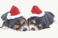 帽子をかぶって眠る2匹のビーグル
