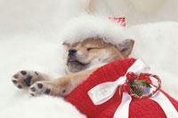 靴下の中で眠る柴犬
