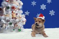 帽子をかぶる柴犬とツリー