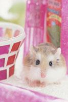 ピンクの小物とロボロフスキーハムスター