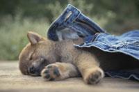 眠る犬(柴犬)とジーンズ 21037000007| 写真素材・ストックフォト・画像・イラスト素材|アマナイメージズ