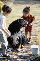 バーニーズマウンテン犬を洗う少女2人