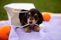 紙袋から出てきたミニチュアダックス子犬