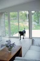 リビングルームと犬 21069000114B| 写真素材・ストックフォト・画像・イラスト素材|アマナイメージズ