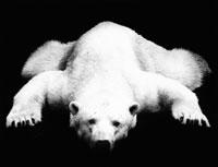 シロクマ 21075000024| 写真素材・ストックフォト・画像・イラスト素材|アマナイメージズ