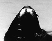 アシカ 21075000028| 写真素材・ストックフォト・画像・イラスト素材|アマナイメージズ
